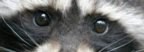cropped-cropped-cropped-cropped-cropped-raccoon12.jpg